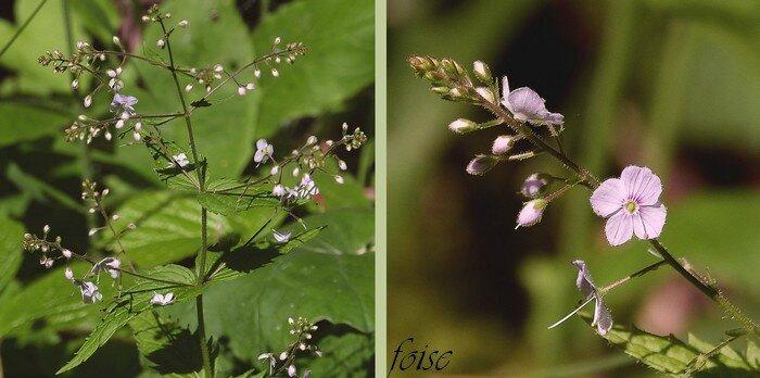 fleurs en longues grappes axillaires