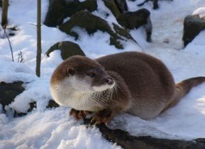 800px_Otter_in_winter