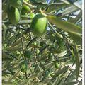 Huile d'olive du moulin du calanquet