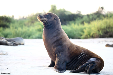otarie_des_galapagos_male