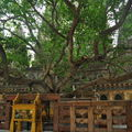 Boddhi tree, banyan sacré