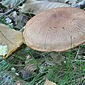 Cortinarius sp (1)