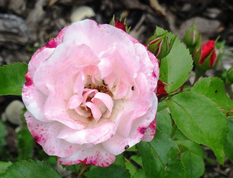 rosier rosenstadt freising