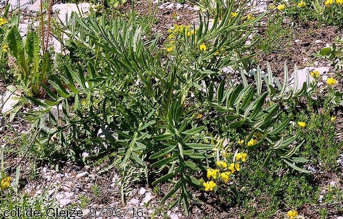 plante bisannuelle feuilles radicales pennatipartites