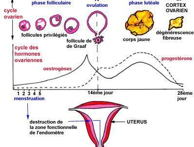 Cycle_menstruel