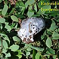 Enteridium lycoperdon