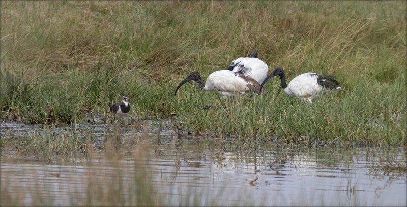 MS Brouage 260817 22 oiseaux ibis vanneau