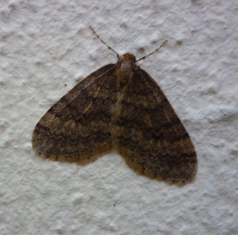Phalène brumeuse (Operophtera brumata)