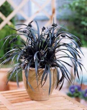 plante_aux_rubans_noirs_r00010331999_0