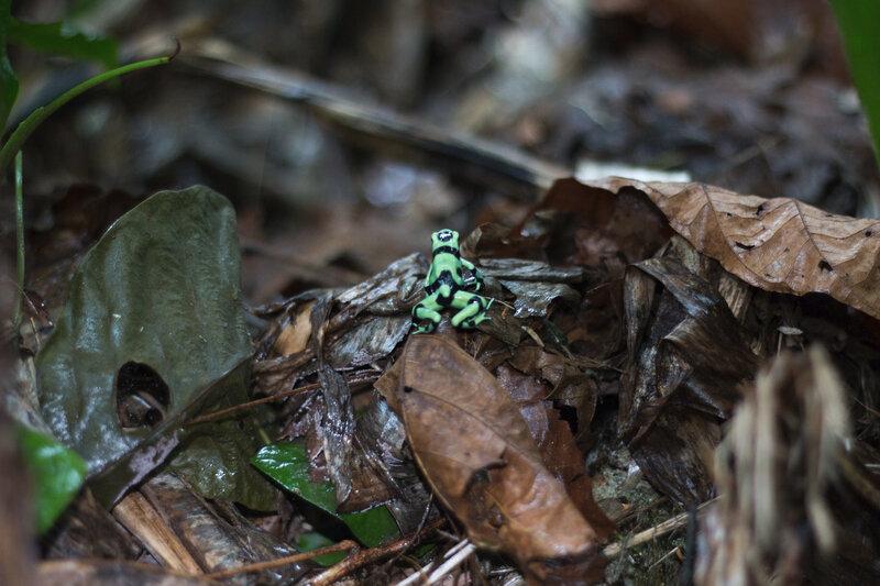 CR 7 Cahuita hotel parc 2015 9 pluie grenouille verte et noire