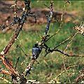 Pic épeichette (Dendrocopos minor)