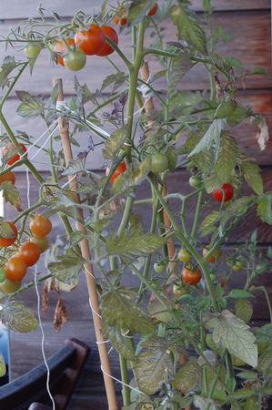 9_ao_t___tomates_cerises
