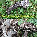 Strobilomyces strobilaceus