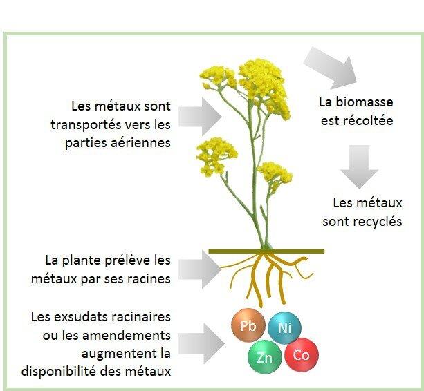 extraction_de_metaux_des_plantes