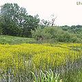 Rorippe amphibie
