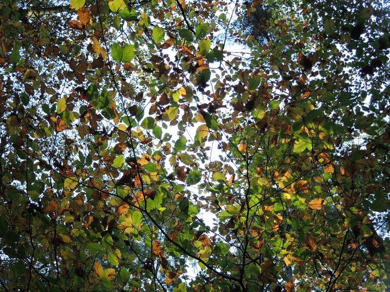Corancy, forêt de grands sapins, feuillage (58)