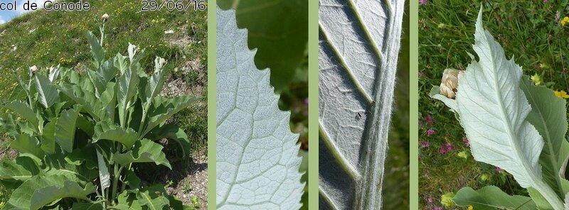 feuilles alternes sessiles limbe denté fortement nervé blanchâtre tomenteux