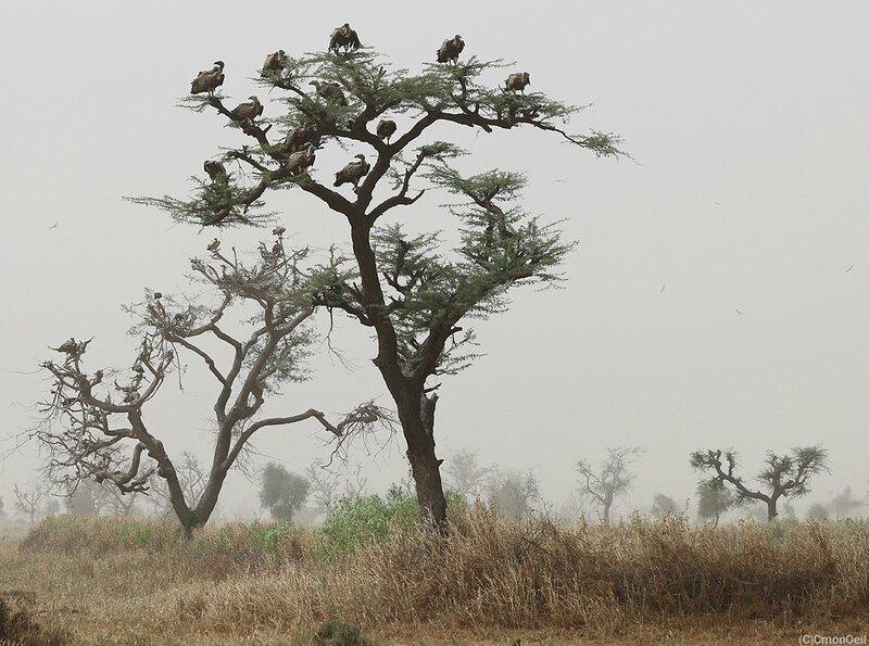 vautours6