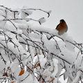 Pinson des arbres dans la neige de Novembre 2010