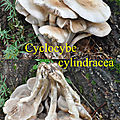 Cyclocybe cylindracea