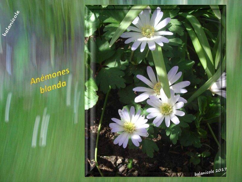 balanicole_2017_03_le printemps des vivaces_13_blanda5