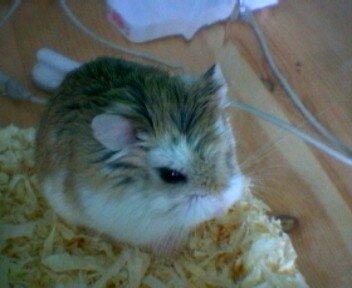 hamster_jeff