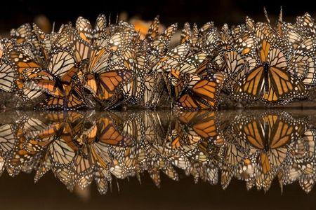 papillons_monarques_388765