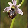 Ophrys splendide : ophrys splendida