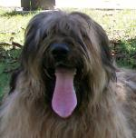 Briard (photo M. Laurent)