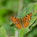 Le Robert-le-diable - Polygonia c album