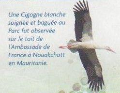 cigogne_blanche