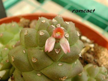 Monadenium_ritchei_fleur