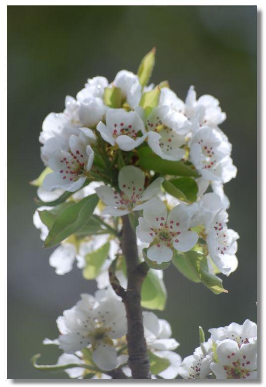fleur_e_pommier