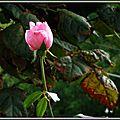 Bouton de rose 1909153