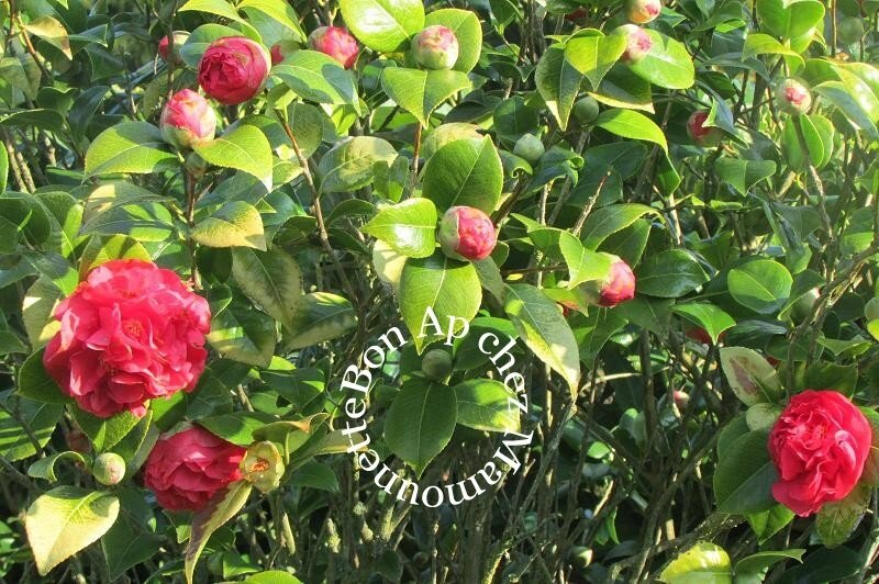 camélia en fleurs jeudi 22