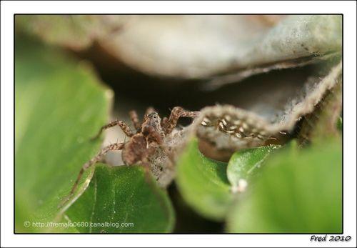 araignée loup (Lycosidés)