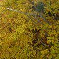 2009 10 31 Depuis le haut d'un Fayard (hêtre), vu sur le branchage et les feuilles d'automnes (6)