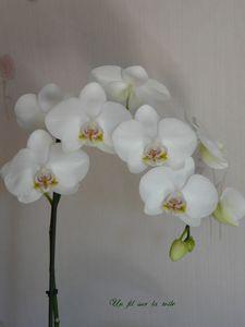 orchid_e_blanche