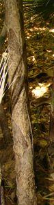 42-Gaines de chaume persistantes O Aztecorum