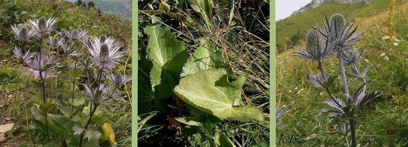 tiges dressées feuilles radicales pétiolées ovales en coeur f caulinaires sessiles