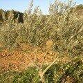 L'olivier et la taille ........