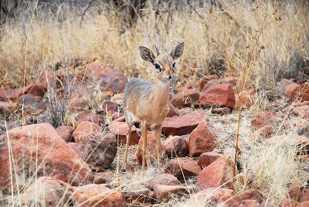 Dik_dik_de_Kirk__parc_du_Plateau_de_Waterberg__Namibie