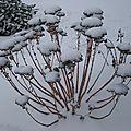 sédum sous la neige
