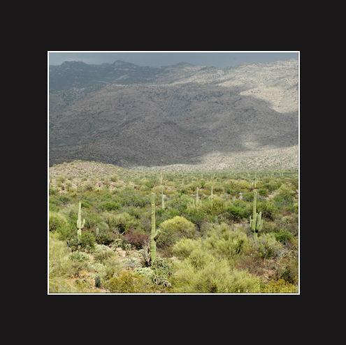 Les cactus de Tucson