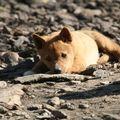 jeune dingo