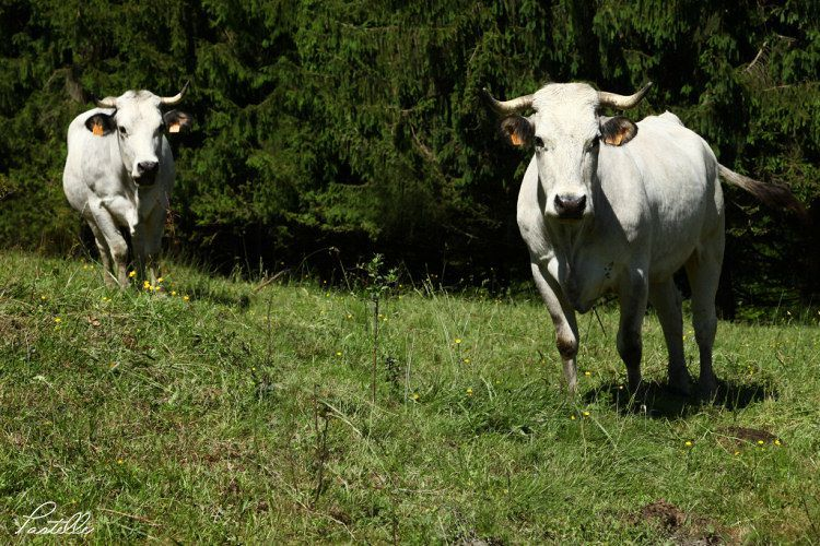 Vaches750_IMG_2300