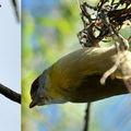 Passeriformes - vireonidae