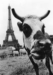 Vache_normande___Paris