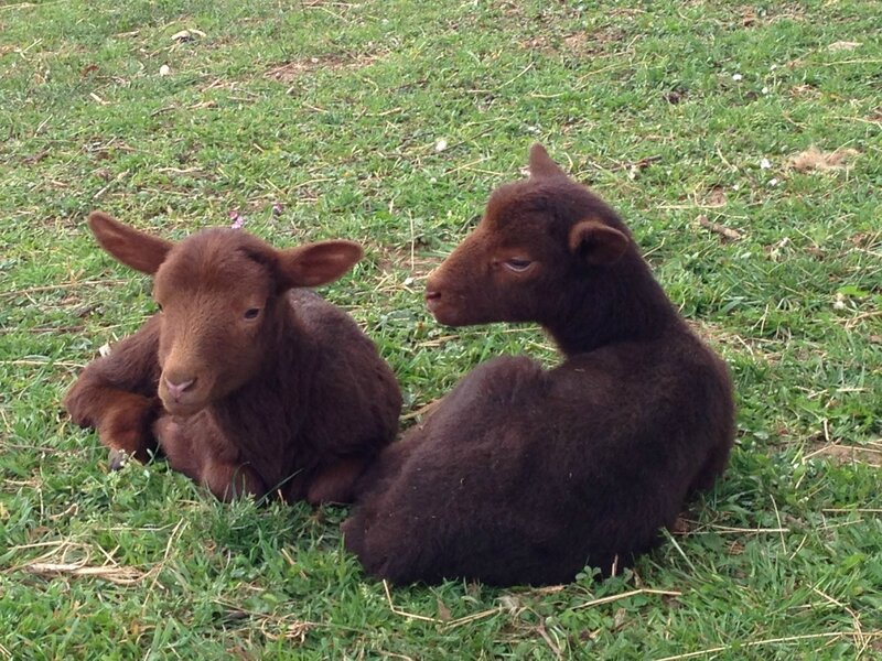 moutons et agneaux (7)