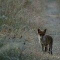 Renard roux - Vulpes vulpes (3)